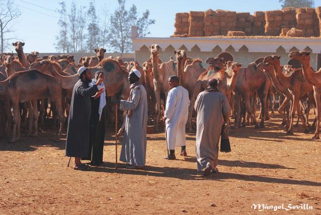 Mercado de camellos en Birqash / Mángel Sevilla. El Cairo
